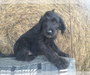 Labradoodle Puppy for sale in CHETEK, WI, USA