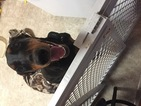 Doberman Pinscher Puppy For Sale in MOORESVILLE, IN, USA
