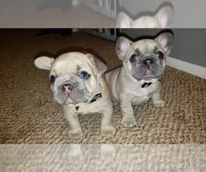French Bulldog Puppy for Sale in DELTA, Colorado USA