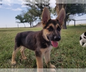 German Shepherd Dog Puppy for sale in WILLIAMSBURG, CO, USA