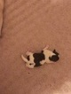 Shih Tzu Puppy For Sale in GREEN BAY, WI,
