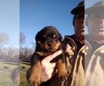 Small #17 Rottweiler