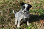 Australian Cattle Dog-Border Collie Mix Puppy For Sale in FRANKLIN, TN, USA