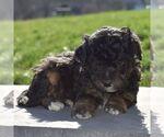 Small #3 Aussiedoodle-Poodle (Miniature) Mix