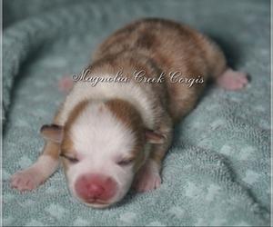 Pembroke Welsh Corgi Puppy for sale in ANDALUSIA, AL, USA
