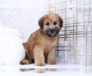 Soft Coated Wheaten Terrier Dog for Adoption in MARIETTA, Georgia USA