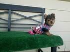 Yorkshire Terrier Puppy For Sale in SANTA CLARITA, CA, USA