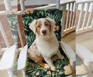 Australian Shepherd Puppy for sale in ALBANY, GA, USA