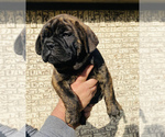 Puppy 4 Bullmastiff-French Bulldog Mix