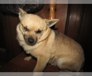 Chiranian Puppy for sale in KALAMAZOO, MI, USA