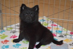 Pomeranian Puppy For Sale in ORO VALLEY, Arizona,