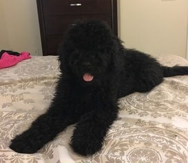 Portuguese Water Dog Puppy for sale in CONCORD, NC, USA