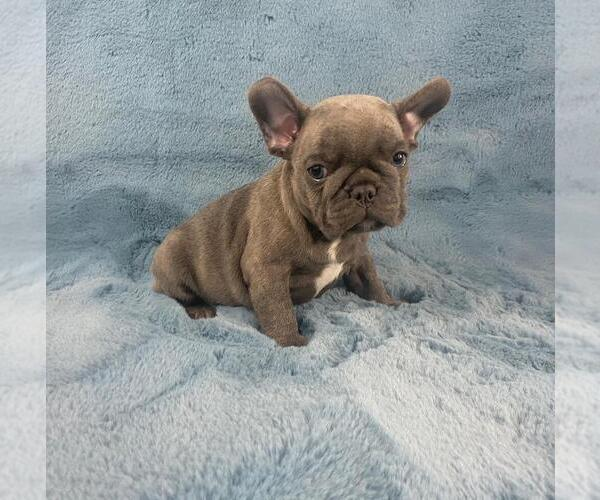 Medium Photo #2 French Bulldog Puppy For Sale in PHILA, PA, USA