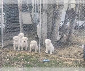 Maremma Sheepdog Puppy for sale in DELTA JCT, AK, USA