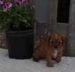 Cavalier King Charles Spaniel Puppy For Sale in ATWOOD, Illinois,