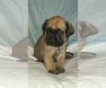 Small #34 Mastiff