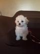 Maltipoo Puppy For Sale in WHITTIER, CA