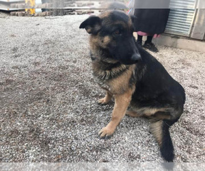 German Shepherd Dog Puppy for sale in NORWOOD, MO, USA