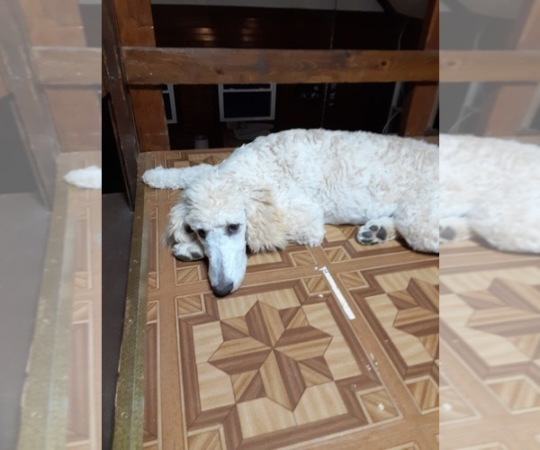 Medium Photo #5 Poodle (Standard) Puppy For Sale in WAUSAUKEE, WI, USA