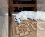 Small Photo #5 Poodle (Standard) Puppy For Sale in WAUSAUKEE, WI, USA