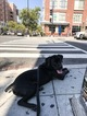 Cane Corso Puppy For Sale in CAPITOL HEIGHTS, MD,