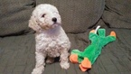 Goldendoodle Puppy For Sale in WALKERTON, IN, USA