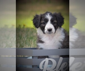 Bordoodle Puppy for sale in OLATHE, CO, USA