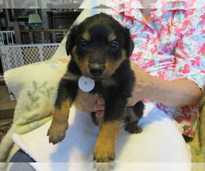 English Shepherd Puppy for Sale in LITTLE WASHINGTON, Ohio USA