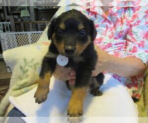 English Shepherd Dog for Adoption in LITTLE WASHINGTON, Ohio USA