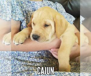 View Ad: Labrador Retriever Puppy for Sale near New York