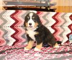 Small #1 Bernese Mountain Dog
