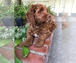 Small #12 Australian Labradoodle