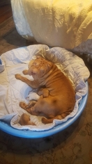 Chinese Shar-Pei Puppy for sale in MUNCIE, IN, USA