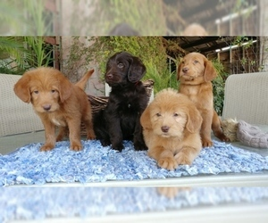 Labradoodle Puppy for sale in FRESNO, CA, USA