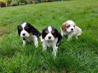 Cavalier King Charles Spaniel Puppy for sale in SALEM, OR, USA