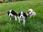 Cavalier King Charles Spaniel Puppy For Sale in SALEM, OR,