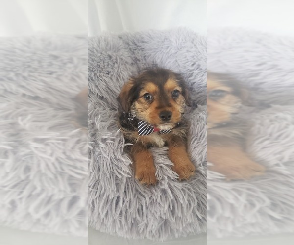 Medium Photo #2 Yorkie Russell Puppy For Sale in OTTAWA, OH, USA