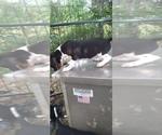 Small Photo #13 Beagle Puppy For Sale in LAFAYETTE, IN, USA