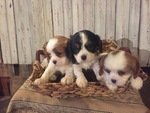 Cavalier King Charles Spaniel Puppy For Sale in APPLE CREEK, OH, USA