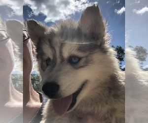 Siberian Husky Puppy for Sale in NEW PORT RICHEY, Florida USA