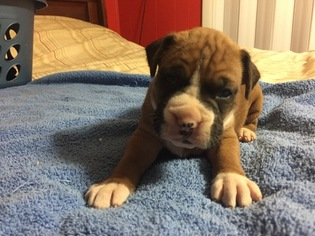 Boxer Puppy For Sale in BEATTYVILLE, KY