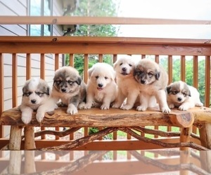 Great Pyrenees Puppy for sale in MARS HILL, NC, USA