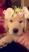Golden Retriever Puppy For Sale in VANCOUVER, WA