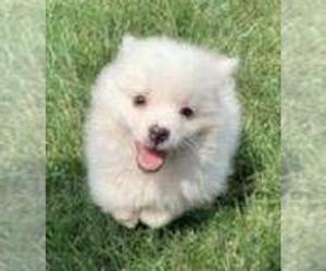 American Eskimo Dog Puppy for sale in RICHMOND, MI, USA