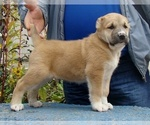 Small #6 Central Asian Shepherd Dog