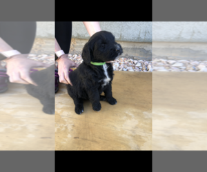 Bernese Mountain Dog-Goldendoodle Mix Puppy for Sale in BRYCE, Utah USA