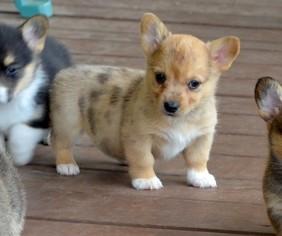 Pembroke Welsh Corgi Puppy For Sale in SPOTSYLVANIA, VA