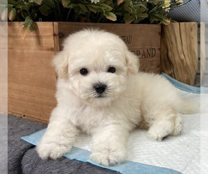 Poodle (Toy) Puppy for sale in SAN FRANCISCO, CA, USA