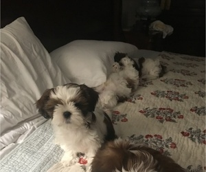 Shih Tzu Puppy for Sale in GRAVOIS MILLS, Missouri USA