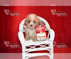 Maltipoo-Poodle (Toy) Mix Puppy for Sale in SANGER, Texas USA